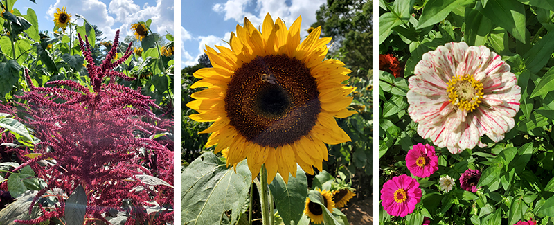 Flower varieties at the Sunflower House, Woodstock, Vermont